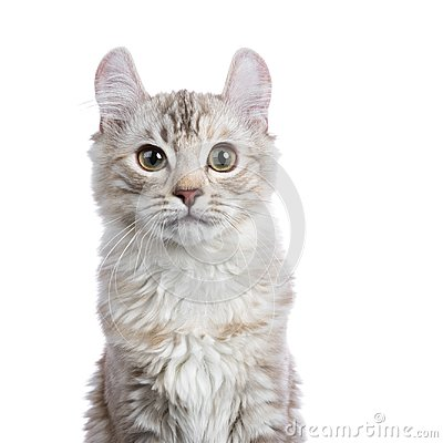 Free Head Shot Of Chocolate Silver Tortie Tabby American Curl Cat Royalty Free Stock Image - 112657726