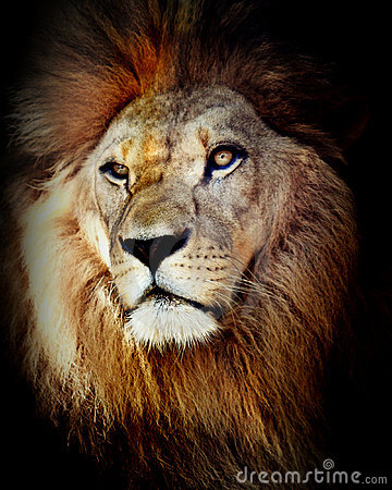 Free Head Shot Of Lion Royalty Free Stock Images - 17320419