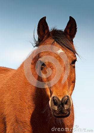 Head-on shot of a red bay Arabian horse
