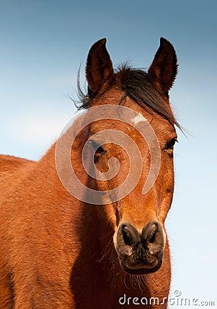 Head-on shot of a red bay Arabian horse
