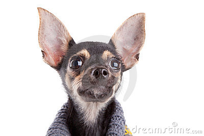 Head Small dog toy terrier in clothes