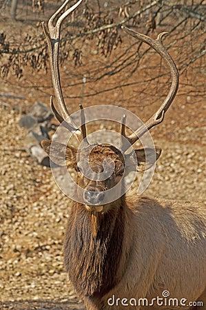 Head sportsliga stora horn på kronhjort för älg.