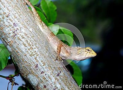 Head Up Lizard