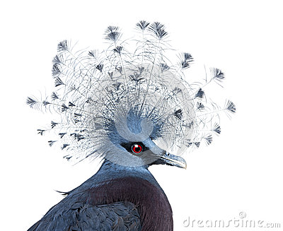 Head of Victoria Crowned Pigeon