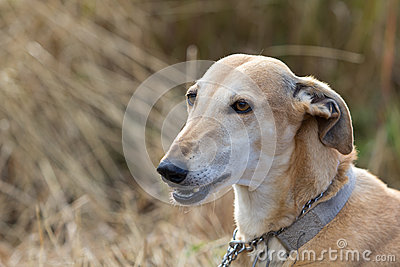 Head of whippet