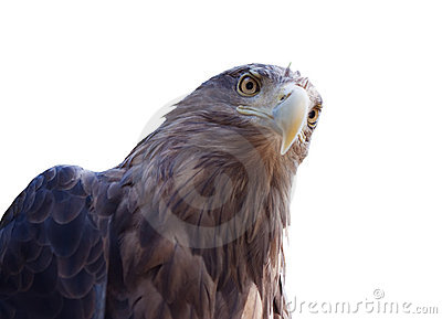 Head of white-tailed eagle