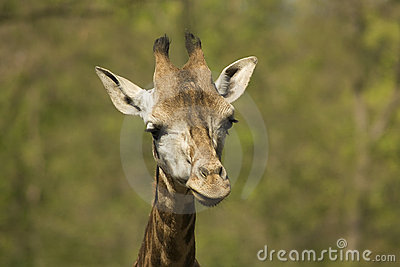Head of young giraffe