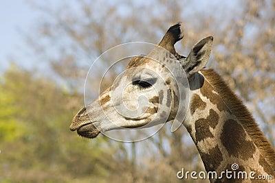 Head of young giraffe