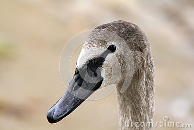 Head of young swan
