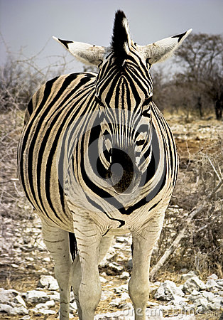 Headlong view of zebra