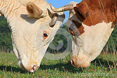 Heads of cows against a pasture