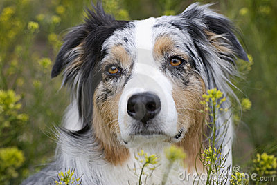 Headshot of Australian Sheperd in field of flowers