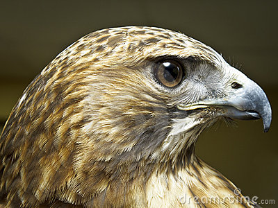 Headshot of a Bird of Prey