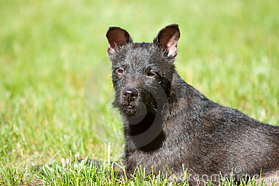 Headshot of Patterdale terrier