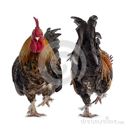 Free Healthy Adult Male Chicken / Rooster On White Royalty Free Stock Photo - 144749025