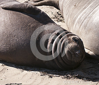 Elephant seal puppy lying on the beach