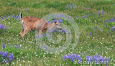 Healthy deer grazing