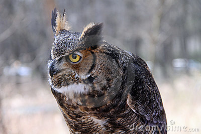 Healthy horned owl