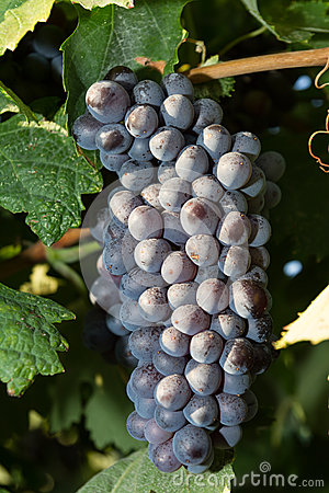 Free Healthy Ripe Sweet And Juicy Red Wine Grapes. Stock Photography - 36015182