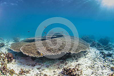 Healthy table coral