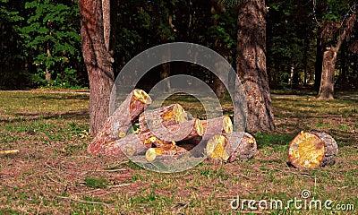 Heap of sawn pine logs