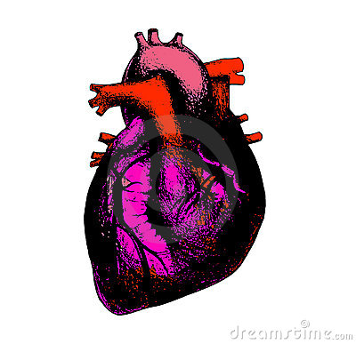 Heart anatomical illustration