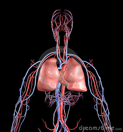 Free Heart And Lungs Stock Image - 3242311