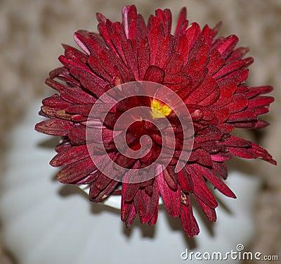 Heart-centered Chrysanthemum