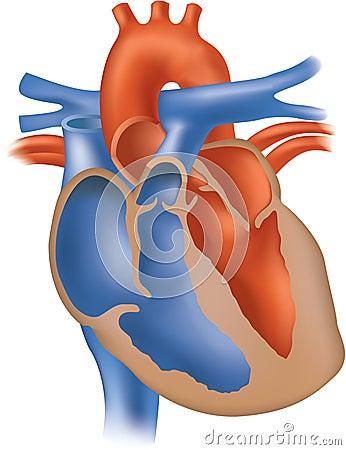 Heart illustration cross section