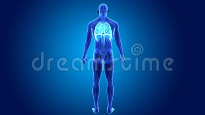 Heart, Lungs and Diaphragm with Anatomy Stock Photo