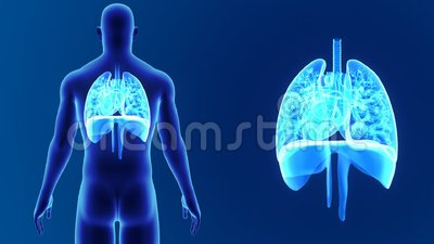Heart, Lungs and Diaphragm zoom with Body Stock Photo