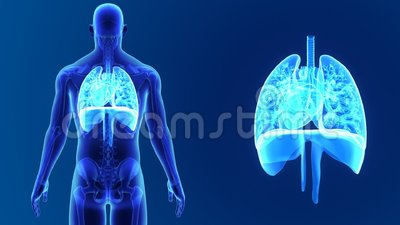 Heart, Lungs and Diaphragm zoom with Skeleton Stock Photo