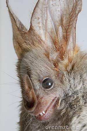 Free Heart-nosed Bat (Cardioderma Cor) Royalty Free Stock Photos - 14303818
