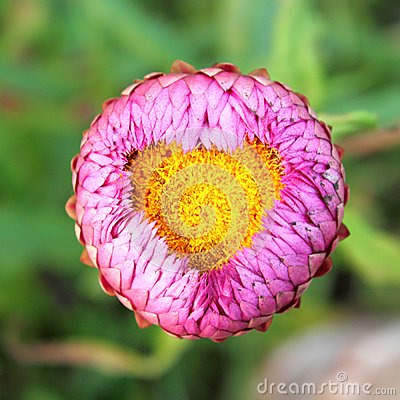 Heart pollen flower
