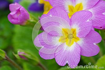 Heart of primrose