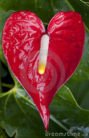 Heart Shaped Flower At Eden Stock Images Image 21910304