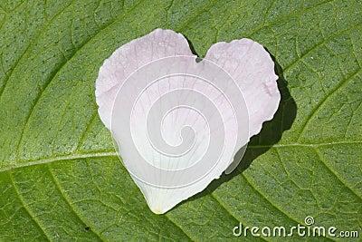 Heart shaped flower petal