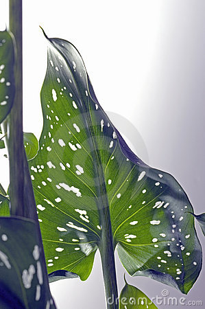 Heart shaped golden calla lily