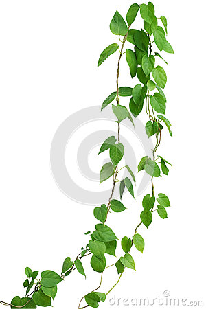 Free Heart Shaped Green Leaf Vines Isolated On White Background, Clip Stock Image - 72941121