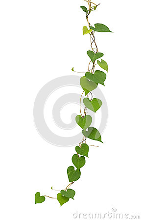 Free Heart Shaped Green Leaf Vines Isolated On White Background, Clip Stock Photography - 88475532