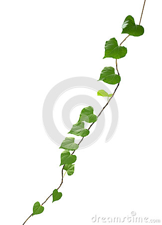 Free Heart Shaped Green Leaf Vines Isolated On White Background, Clip Royalty Free Stock Photography - 88475767