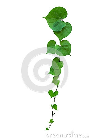 Free Heart Shaped Green Leaf Vines Isolated On White Background, Path Stock Photos - 98181733