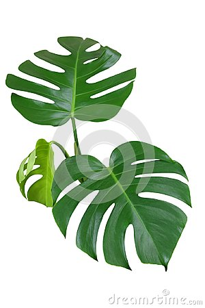 Free Heart Shaped Green Leaves Of Monstera Or Split-leaf Philodendron Stock Images - 102713524