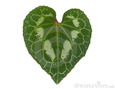 Closeup of heart-shaped Cyclamen's leaf isolated on white background ... Flower Vine Clipart