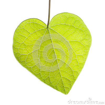 Heart Shaped Leaf on White Background