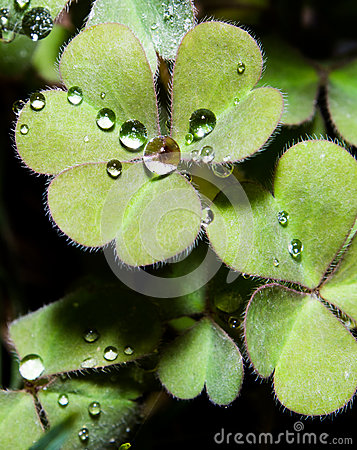 Heart shaped leaves with water drops