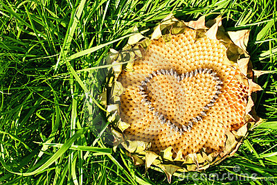 Heart of a sunflower