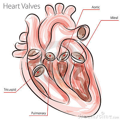 Heart Valves Watercolor Chart