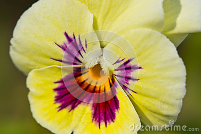 Heartsease flower closeup