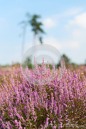 Heather in landscape